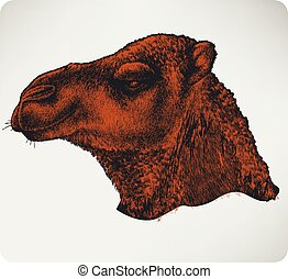 Head of a camel, hand-drawing. Vector illustration.
