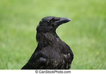 Head of a crow