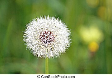Head of a dandelion flower in the middle of the flower meadow in summer