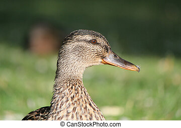 Head of a female duck