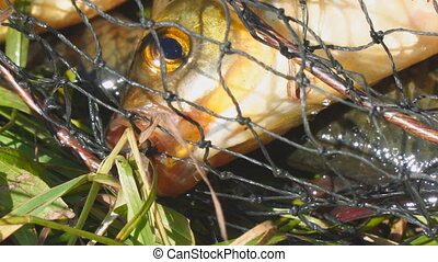 Head of a fish with red fins in the cage close up - The head...