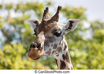 Head of a giraffe close-up against a background of green...
