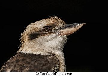 Head of a kookaburra