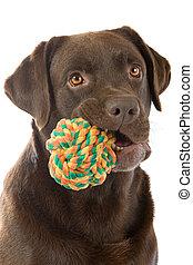 head of a labrador retriever dog