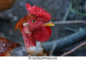head of a large cock with a red comb