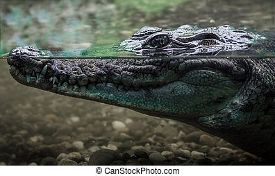 head of a large crocodile alligator in the water close up