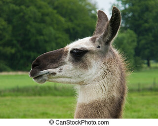head of a llama, lama, seen from the side, trees in ...