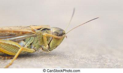 Head of a locust a closeup. Locust invasion - The head of a...