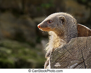 Head of a mongooses in the profile on the right hand side of the image. View to the left. Copyspace on the left side