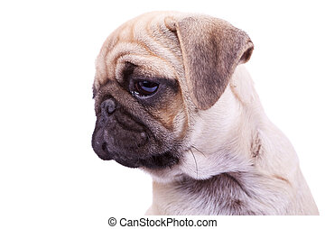 head of a mops puppy dog on white background. closeup ...