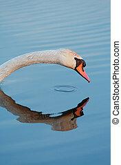 head of a mute swan - head of a wild mute swan (Cygnus olor)