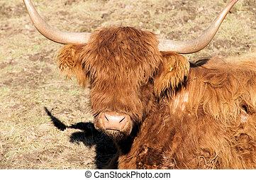 Head of a Scottish Highland