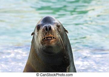 Head of a sea lion - California sea lion (Zalophus...
