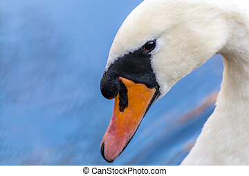 Head of a swan in close-up view.