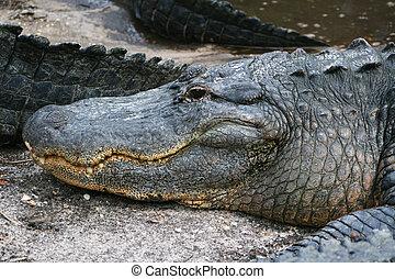 Head of Alligator