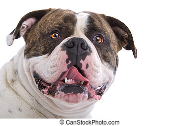 american bulldog - head of american bulldog isolated on a ...