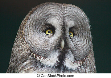 Head of an eagle owl close up