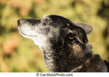 Head of an old dog