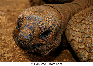 head of an old galapagos-turtle