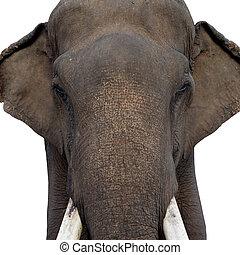 head of asian elephant