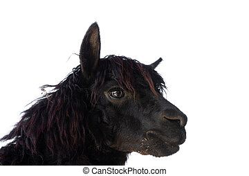 Head of black alpaca on white