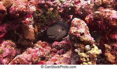 Head of black moray on background coral underwater in sea of Maldives.. Swimming in world of colorful beautiful wildlife of corals reefs. Inhabitants in search of food. Abyssal relax diving.