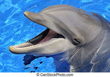 Head of bottlenose dolphin Tursiops truncatus with an open mouth in the blue water