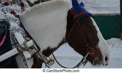 Head of brown horse, harness and nods, winter, snow - Head...