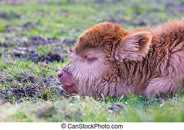 Head of brown newborn scottish highlander calf