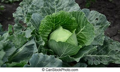 Head of cabbage in garden