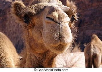 Head of camel - Head of big camel near mount in Wadi Rum,...