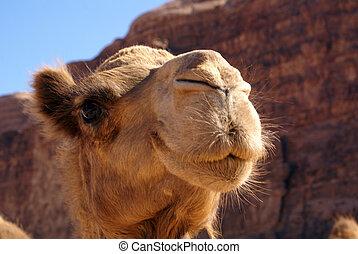 Head of camel near mount in Wadi Rum desert, Jordan...