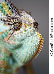 chameleon - head of chameleon