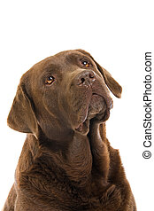head of chocolate labrador dog - head of chocolate labrador...