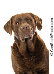 head of chocolate labrador dog