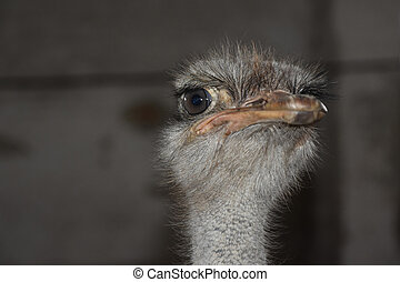 Common ostrich (Struthio camelus) - Head of Common ostrich...