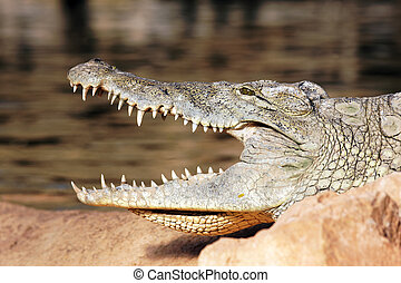 head of crocodile