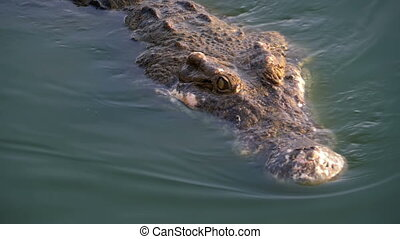 Head of Crocodile Swims in the Green Marshy Water. Muddy...