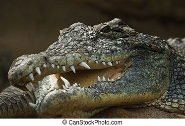Head of crocodile with open mouth
