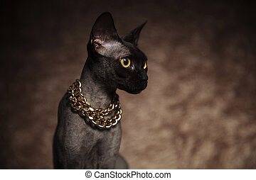 head of curios seated metis cat wearing golden necklace...