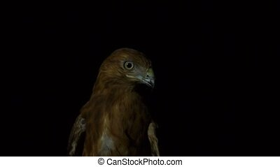 Head of desert eagle bird in the dark near the street lamp Looking for a prey