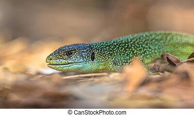Head of Eastern European Green Lizard