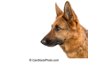 head of german shepherd dog. profile. isolated on a white background