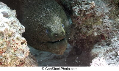 Head of giant moray eel in Red sea of Egypt. Underwater relax video.