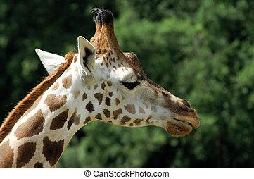 Giraffe - Head of Giraffe in zoo garden