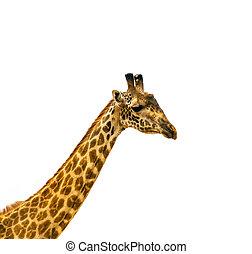 head of giraffe over white background
