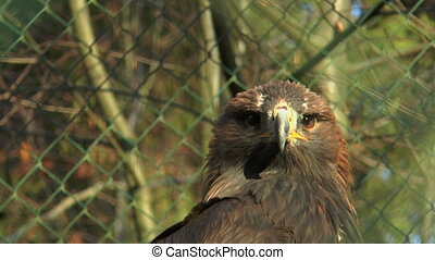 head of golden eagle in cage  close