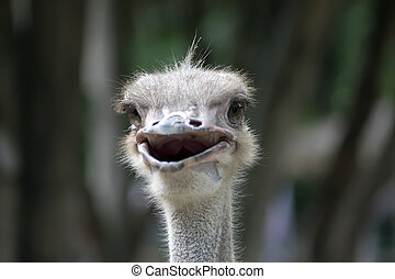 Head of Happy Common Ostrich. Struthio Camelus is either one or two species of large flightless birds native to Africa.