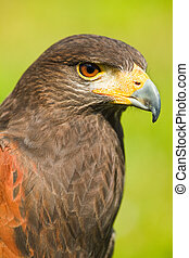 Harris Hawk or Parabuteo unicinctus - Head of Harris Hawk or...