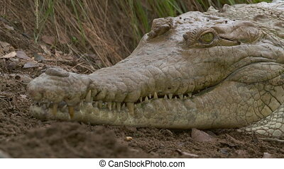 Head Of Huge Orinoco Crocodile, Casanare, Colombia - Extreme...